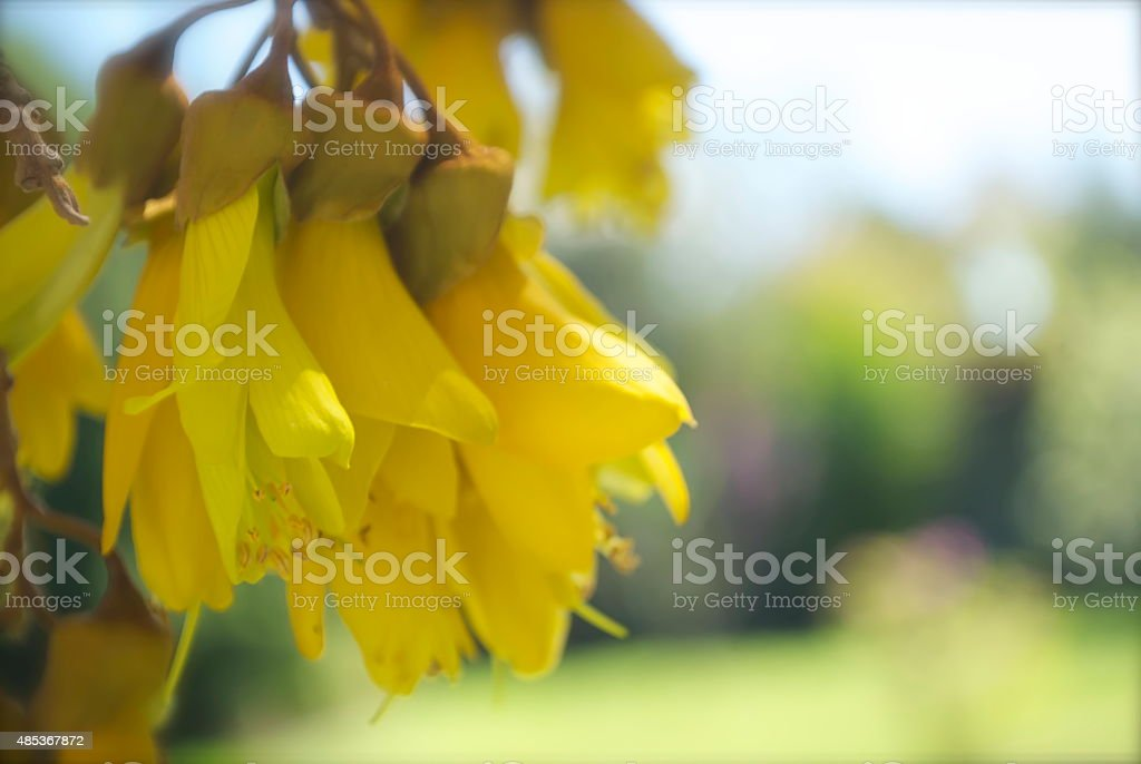 Spring Kowhai Flowers in Soft Focus stock photo