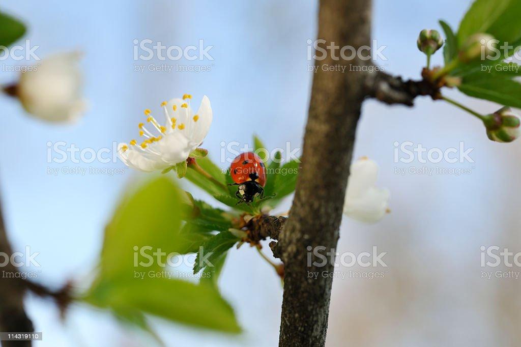 Spring Ladybird on Leaf among Cherry Blossom stock photo