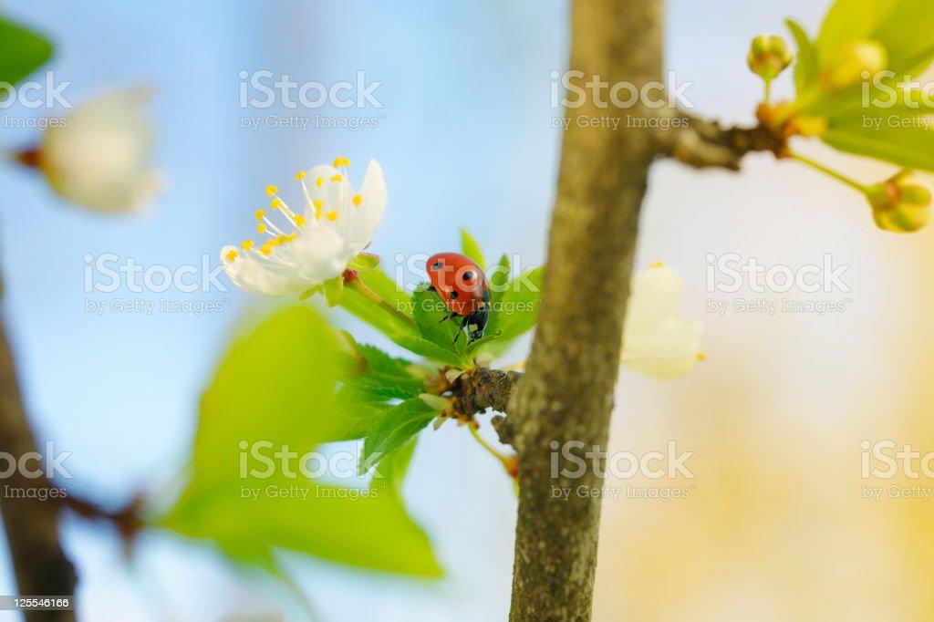 Spring Ladybug on Leaf among Cherry Blossom stock photo