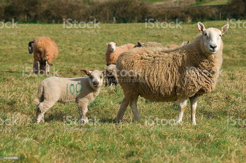 Spring Lamb and mother royalty-free stock photo