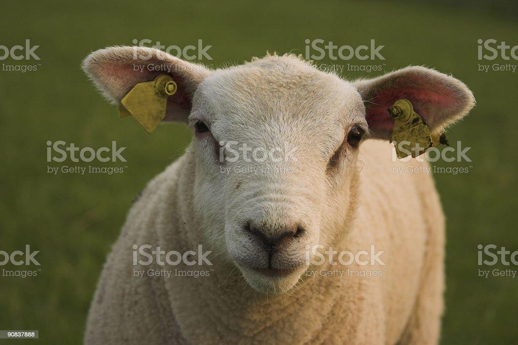 Spring Lamb Close Up royalty-free stock photo