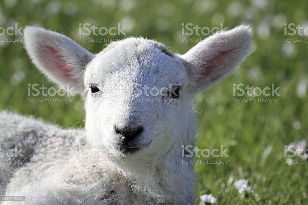 Spring Lamb CloseUp royalty-free stock photo