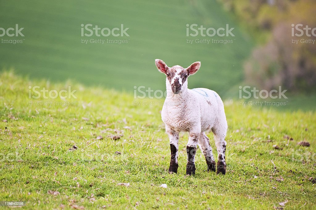 Spring lamb in landscape royalty-free stock photo