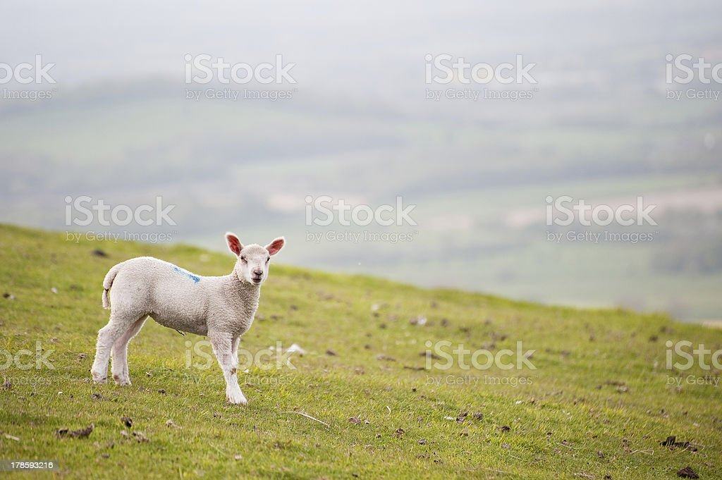 Spring lamb in rural farm landscape royalty-free stock photo