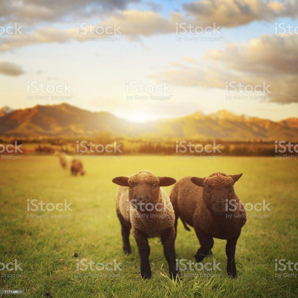 Spring Lamb, New Zealand meadow stock photo