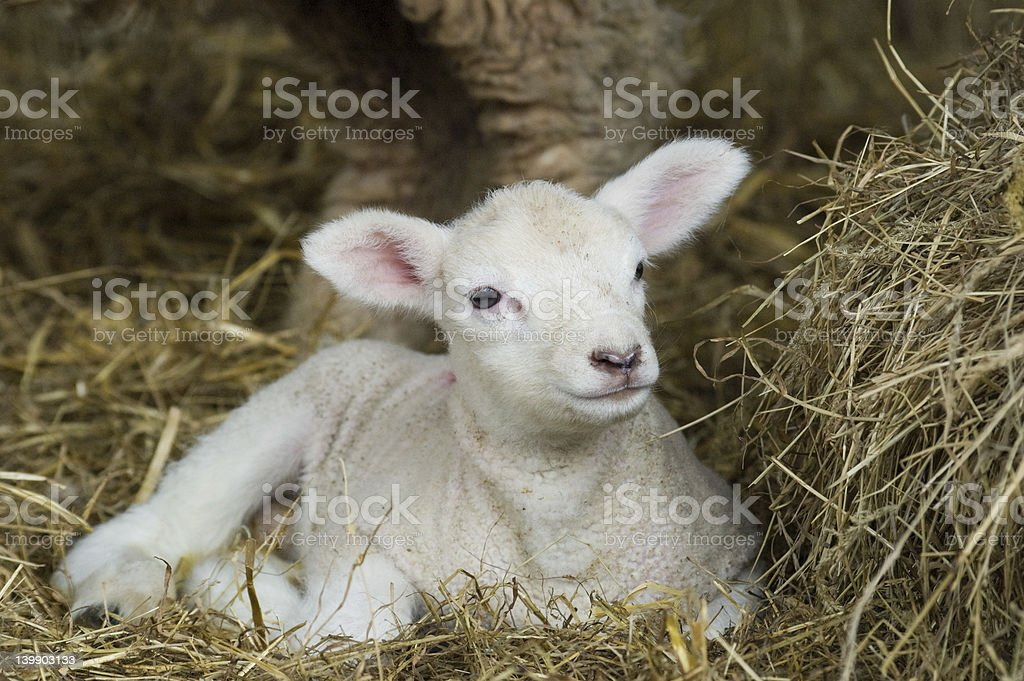 Spring Lamb royalty-free stock photo