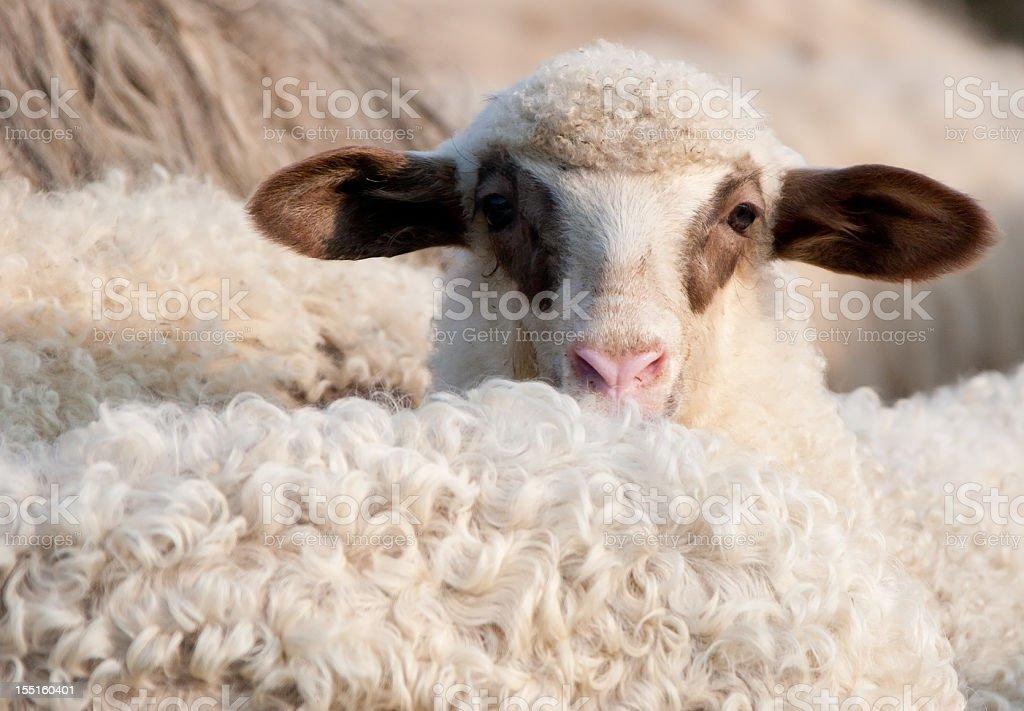 Spring Lamb royalty-free stock photo