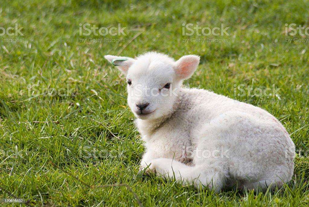 Spring lamb resting in field stock photo