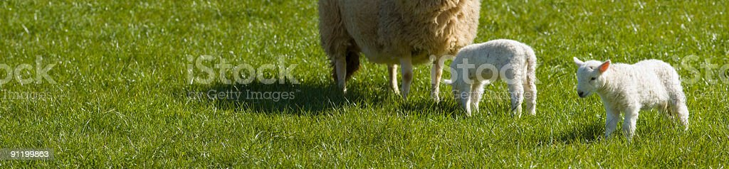 Spring lambs and ewe in green grass royalty-free stock photo