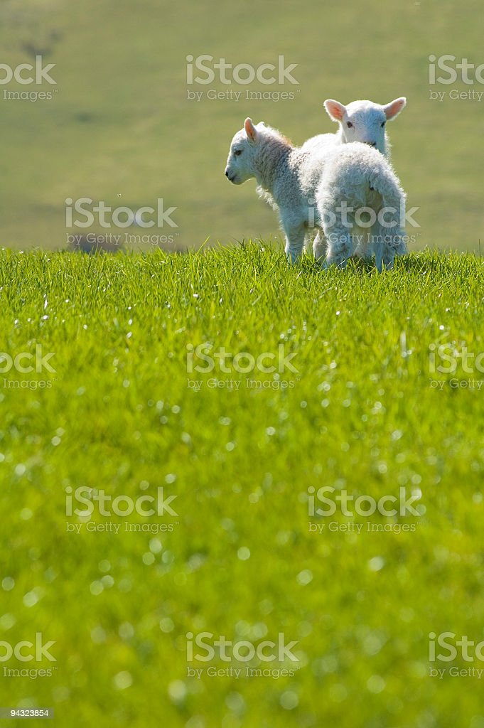 Spring lambs in green pasture royalty-free stock photo