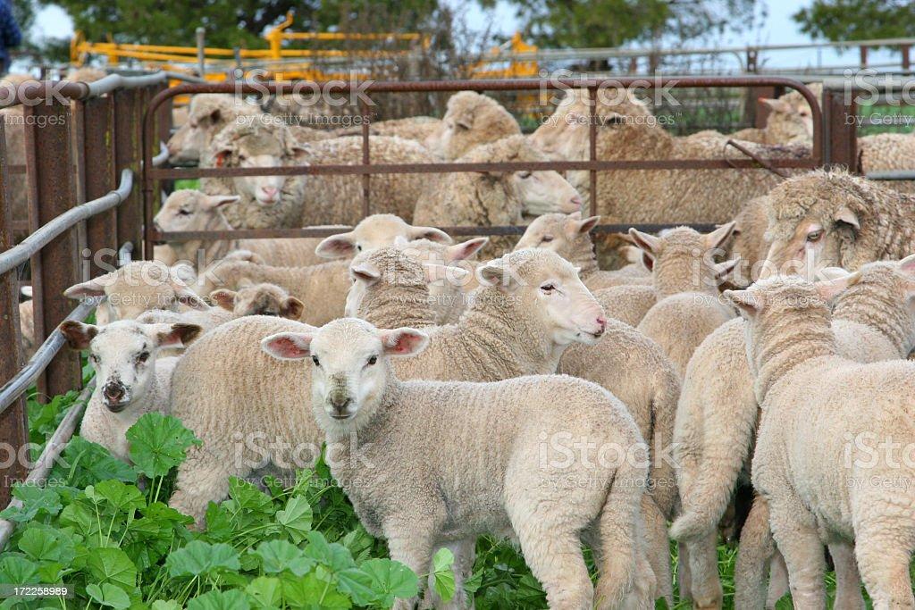 Spring Lambs stock photo