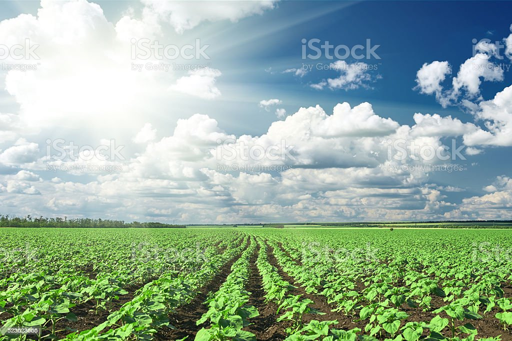 spring landscape, green field with vegetable seedling bush and sun stock photo