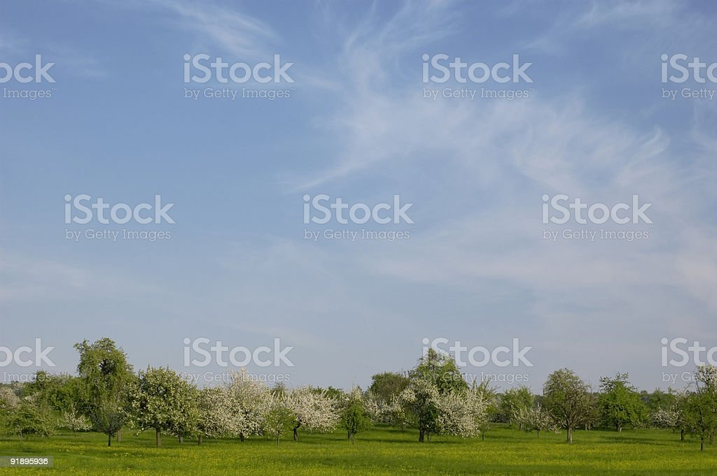 Spring landscape, green grass and blossom trees, sky blue royalty-free stock photo