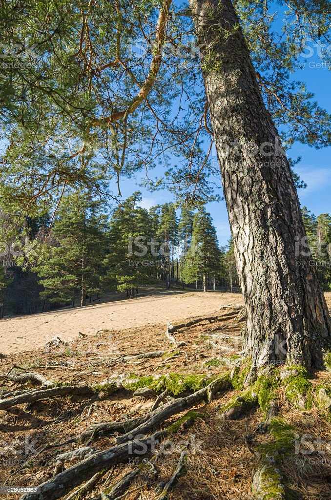 Spring landscape in a Baltic wood stock photo