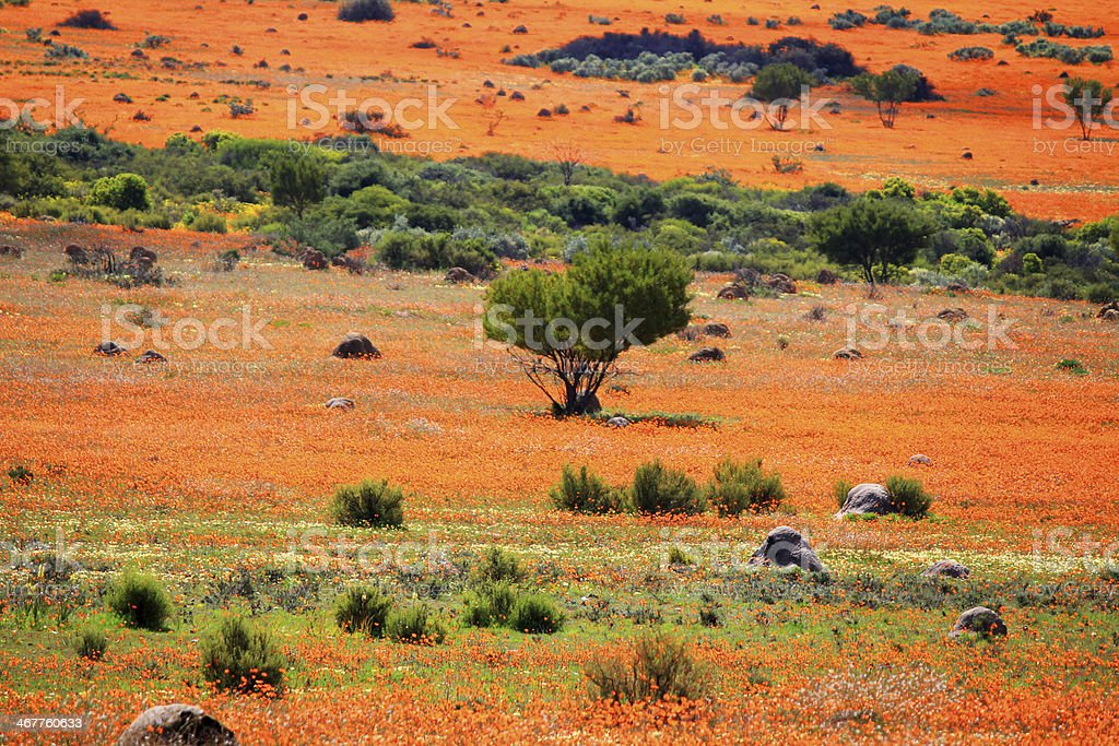 Spring - landscape in namaqualand national park stock photo
