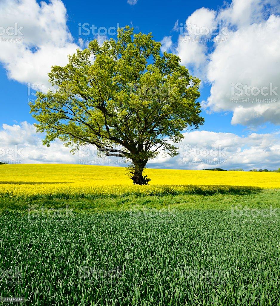 Spring Landscape, Oak Tree, Canola and Wheat Field, Blue SKy stock photo