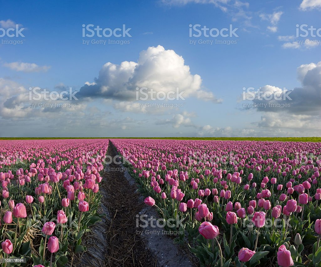 Spring Landscape of Tulip Field royalty-free stock photo