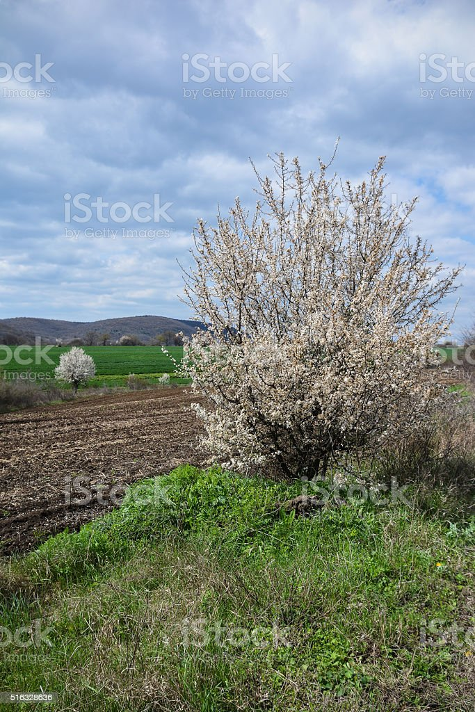 Spring landscape with blooming trees stock photo