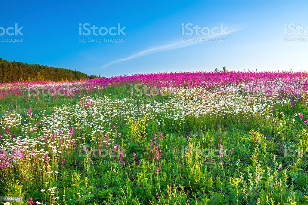 spring  landscape with  flowers on a meadow stock photo