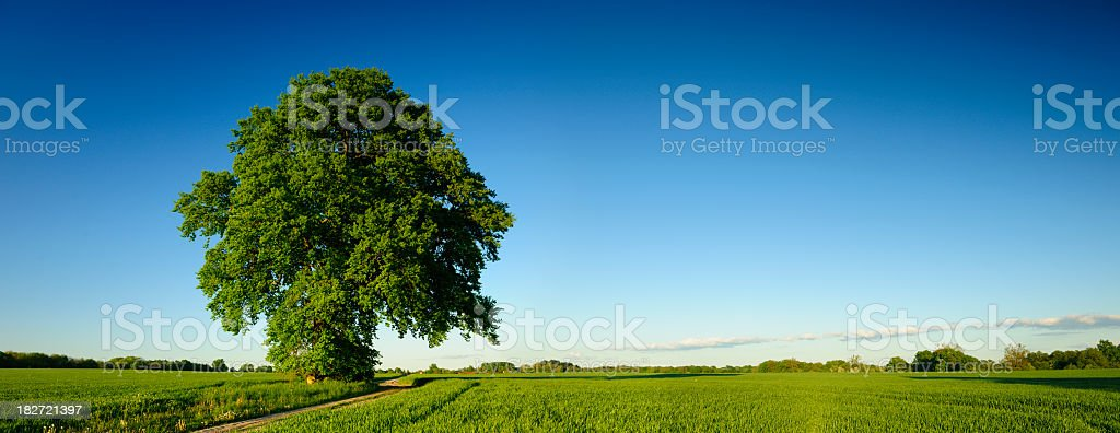 Spring Landscape with Mighty Oak Tree on Dusty Farm Road royalty-free stock photo