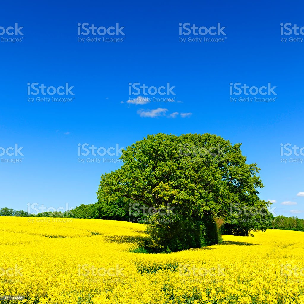 Spring Landscape with Oak Trees in Canola Field royalty-free stock photo