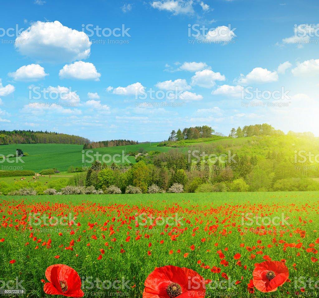Spring landscape with poppy field stock photo