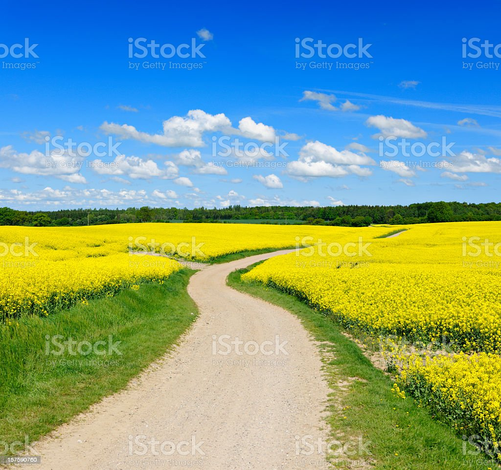 Spring Landscape with Winding Dusty Farm Road Through Canola Fields royalty-free stock photo