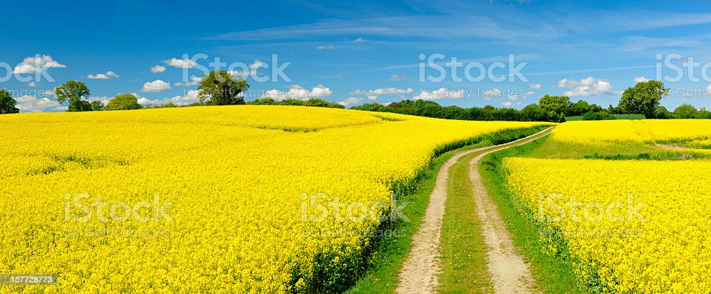 Spring Landscape with Winding Dusty Farm Road Through Canola Fields stock photo