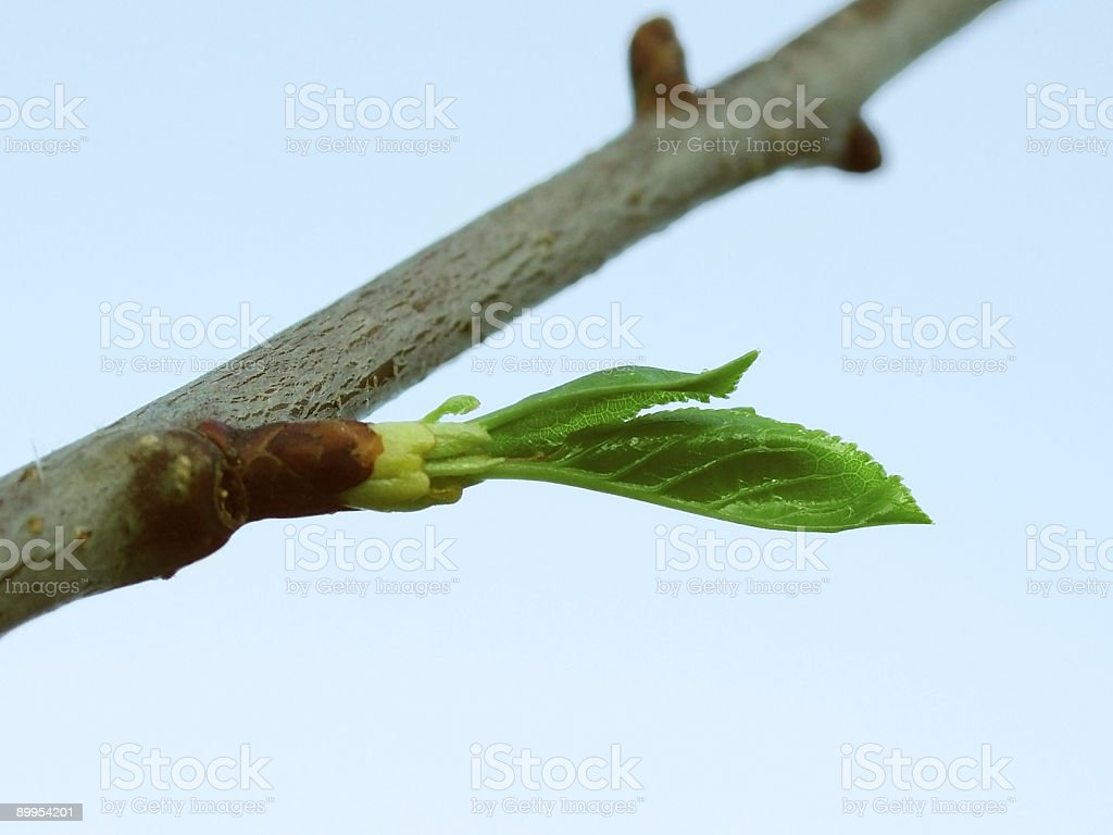 Spring leaf royalty-free stock photo