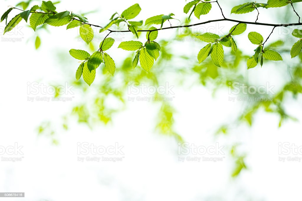 Spring Leaves In Forest stock photo