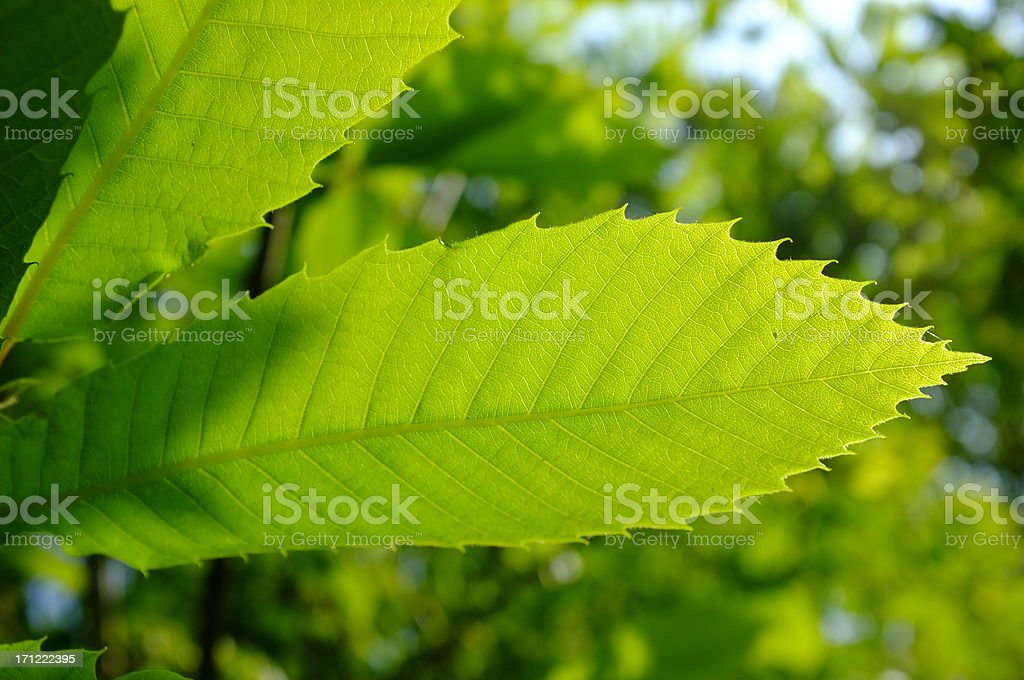 Spring leaves, Jersey. royalty-free stock photo