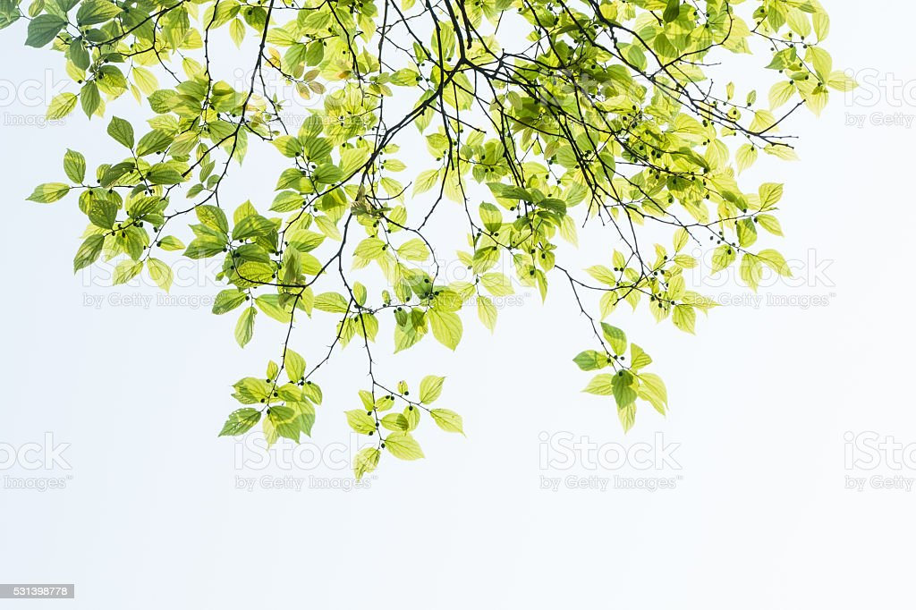 spring leaves selective focused with sky background stock photo