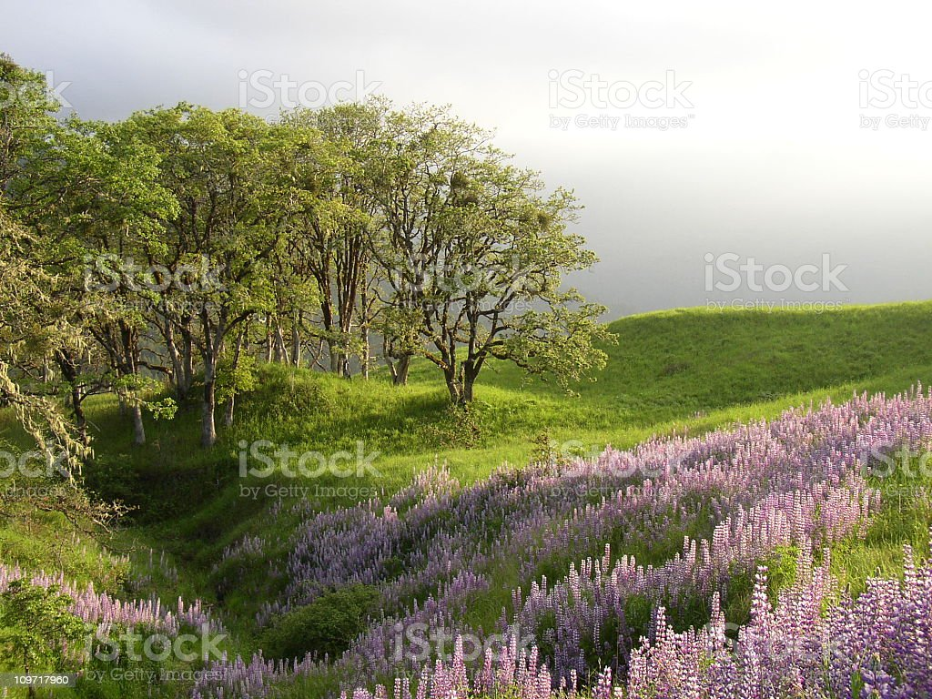 Spring Lupines under Oaks royalty-free stock photo