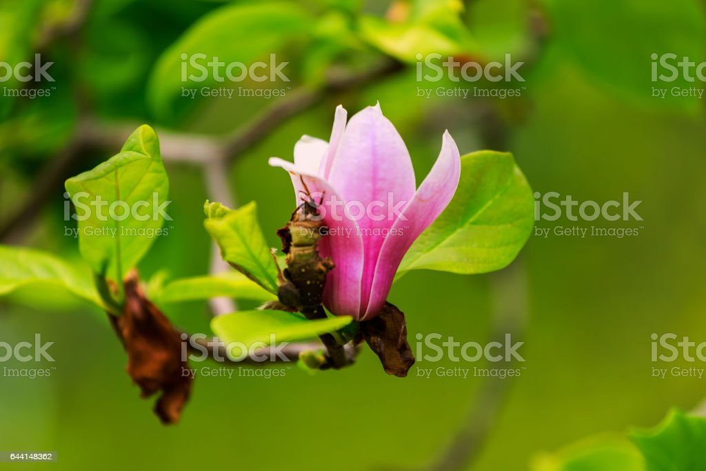 spring magnolia flowers, natural abstract soft floral background stock photo