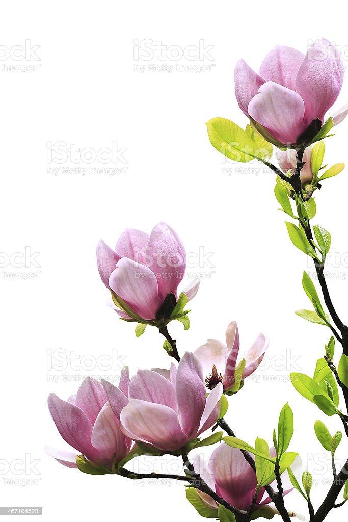 Spring magnolia tree blossoms royalty-free stock photo