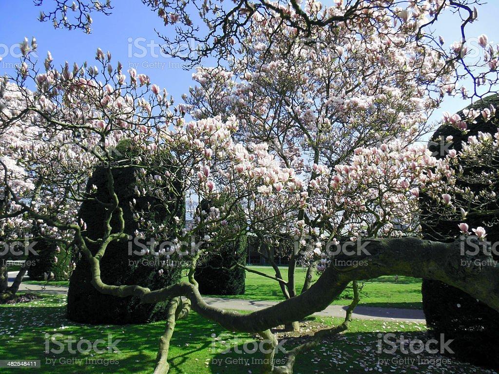Spring magnolia tree blossoms stock photo