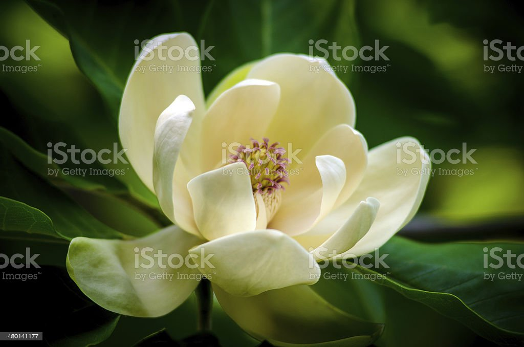 spring magnolia tree flower stock photo