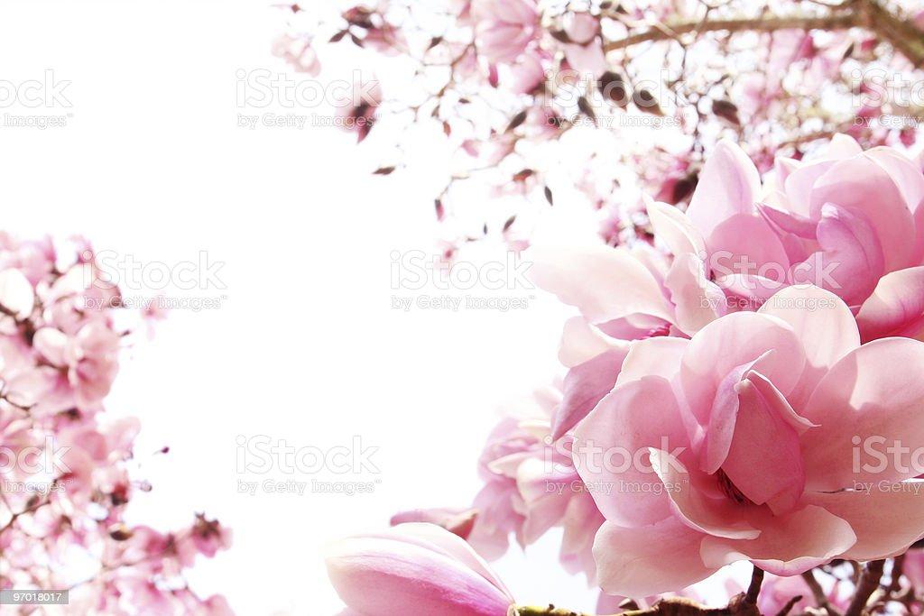 Spring magnolia tree in bloom stock photo