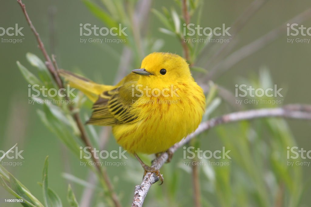 Spring male Yellow Warbler stock photo