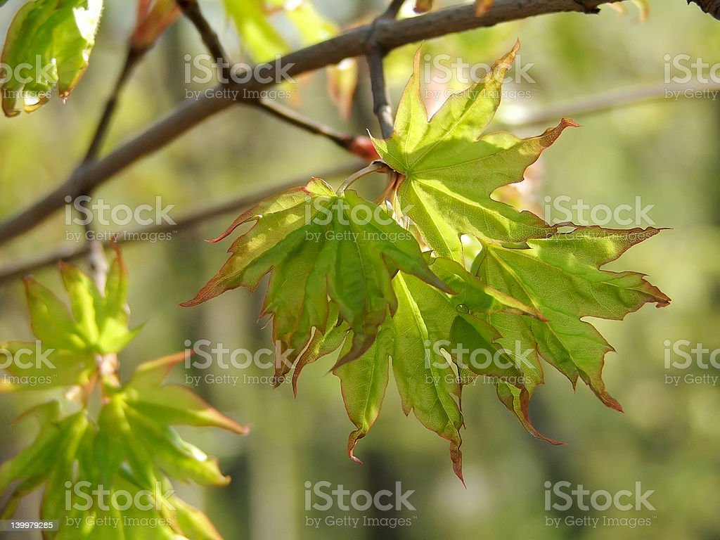 Spring maple leaflets royalty-free stock photo