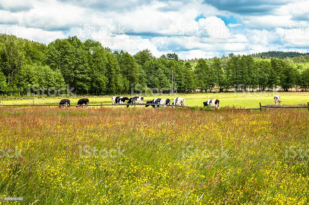 Spring meadow, landscape with grazing dairy cows, rural scene