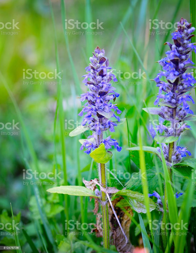Spring meadow (Ajuga reptans), natural background stock photo