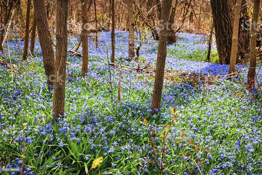 Spring meadow with blue flowers glory-of-the-snow royalty-free stock photo
