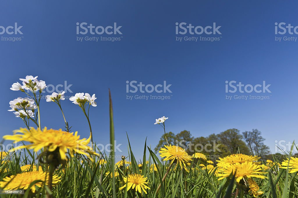 Spring meadow with dandelion - frog view stock photo