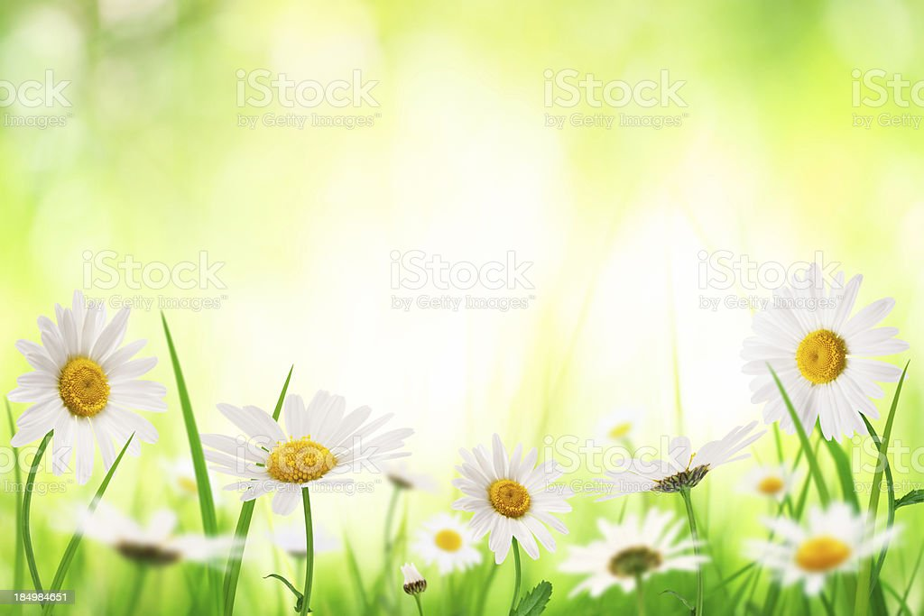 Spring Meadow With Golden Daisies stock photo