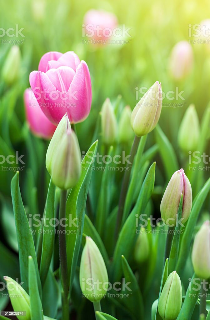 Spring meadow with violet tulip flowers, floral sunny seasonal b stock photo