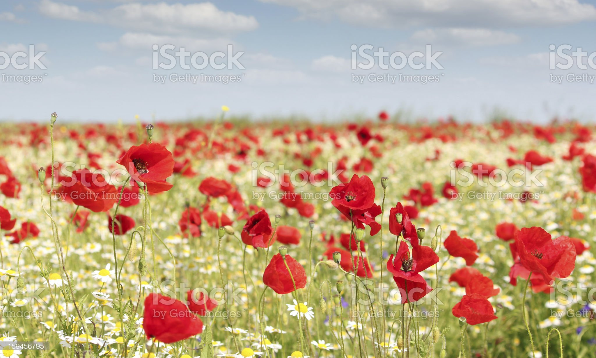 spring meadow with wild flowers royalty-free stock photo