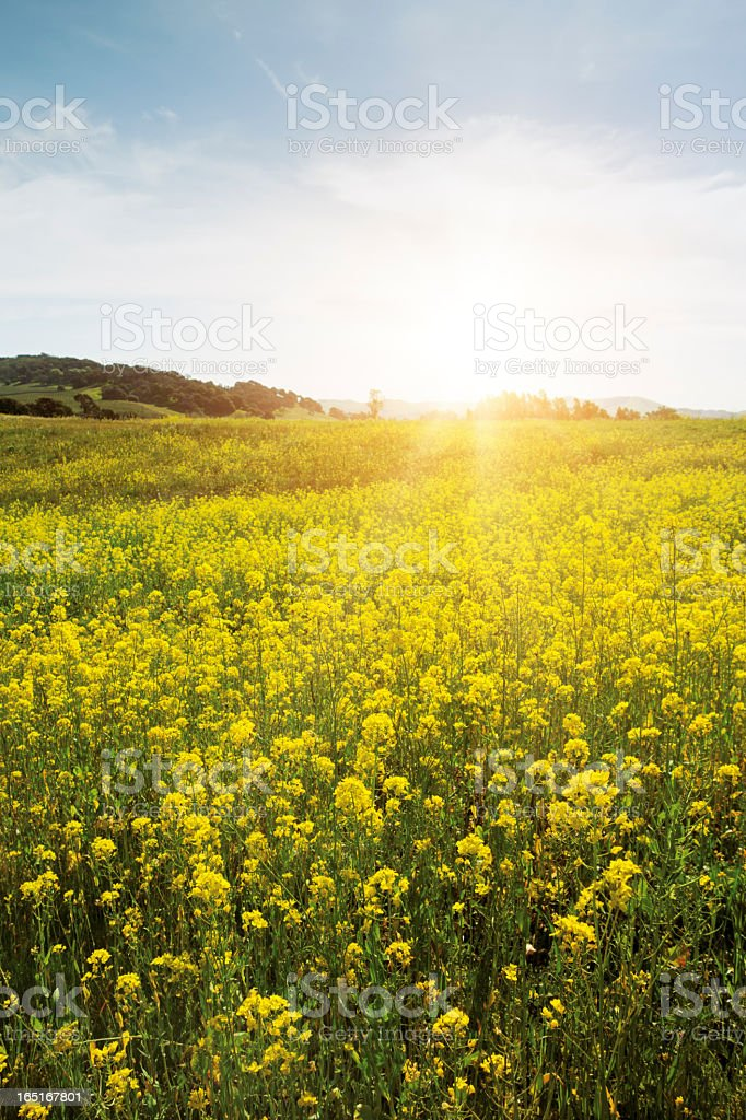 Spring meadow with yellow flowers stock photo