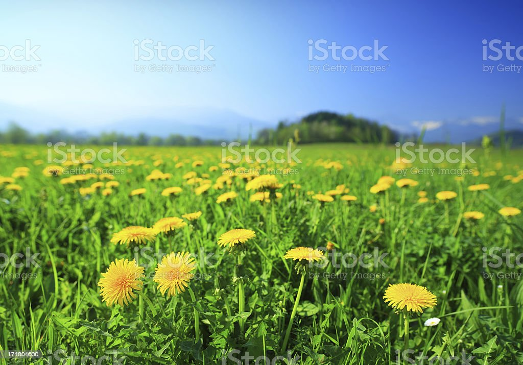 Spring Meadow, Yellow Dandelion Flowers royalty-free stock photo