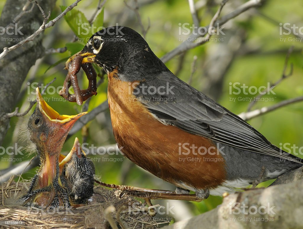 Spring! Mother Robin Feeds Worm to Nest of Hungry Babies stock photo